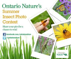 Ontario Nature's Summer  Insect Photo Contest: The long hot days of summer are here and so is Ontario Nature's insect photo contest!    Don't miss a beat, learn how you can win prizes and start a buzz. Enter your insect photos to Ontario Nature's Summer Insect Photo Contest: www.ontarionature.org/connect/blog/ontario-natures-summer-insect-photo-contest