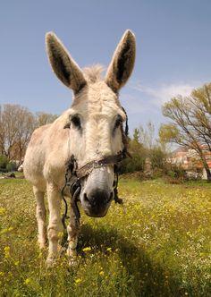 Donkey in Chiravel