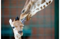 Ugandan giraffe baby Fritz is licked by his mother Jette on Friday at the Tierpark zoo in Berlin. When Fritz was born on Nov. 13, he already measured 1.81 meters. Ugandan giraffes are also known as Rothschild's giraffes.