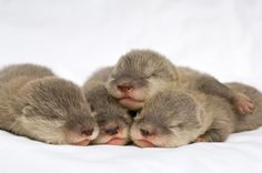 Baby otter snuggle pile.