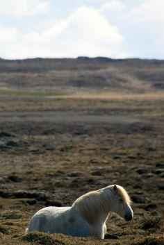 Icelandic horse | Cheval islandais | Caballo islandés