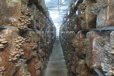 Totul despre ciuperci cu Dr. Ing. Ioana Tudor: CONSULTANTA PENTRU CIUPERCARIE