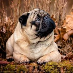 Figure out more details on pug dogs. Check out our site. Brindle Pug, Old Pug, Pug Rescue, Pug Photos, Cute Pugs, Funny Pugs, Pugs And Kisses, Baby Pugs, Pug Art