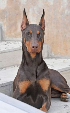 "Click visit site and Check out Cool ""Dobermann"" Shirts. This website is…"
