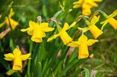 Nárcisz (Narcissus) gondozása, szaporítása