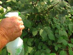 Effective Fungicides Got fungal disease on your favorite garden roses or vegetables? Master gardener Paul James offers simple and easy-to-use fungicide treatments to resolve these pesky problems. Nutrient Cycle, Plant Tissue, Citronella Oil, Plant Diseases, Garden Pests, Back To Nature, Vegetable Garden, Home Remedies, Gardens