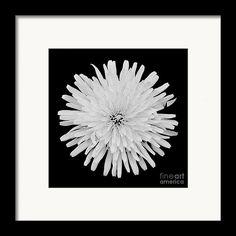 Taraxacum Officinale Framed Print featuring the photograph Dandelion by Sverre… Taraxacum Officinale, Attic, Dandelion, Photograph, Framed Prints, Fine Art, Design, Photography, Dandelions