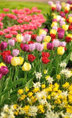 Must see tulips in Holland