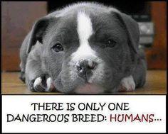 Beautiful Blue Pit Bull puppy.