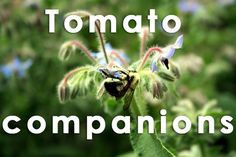 http://www.treehugger.com/lawn-garden/12-companion-plants-grow-alongside-your-tomatoes.html