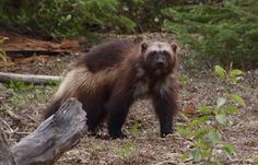 Shaggy the wolverine in Northern Alberta
