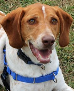 Meet Snoopy a Petfinder adoptable Hound Dog | Richmond, VA | ** Snoopy has completed his training with the Ladies at Fluvanna. His adoption fee is now $175 so...Click on pic for additional information about this furry baby♥♥♥