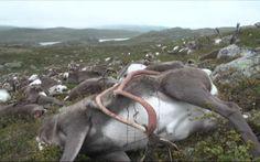 Norvège : plus de 300 rennes meurent foudroyés. Ils vivaient dans un parc national du sud du pays, quand ils ont été frappés par la foudre. Hécatombe dans un parc national norvégien. 323 rennes, qui vivaient sur le plateau du Hardangervidda, sont morts foudroyés. Cinq rennes, qui ont été blessés, ont dû être abattus, affirment les autorités