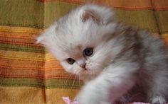 Обои котёнок, малыш, пушистый
