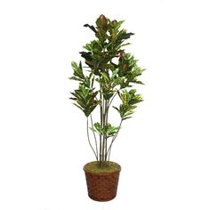 "Laura Ashley 77"" Tall Croton Tree with Multiple Trunks in 17"" Fiberstone Planter, Green"