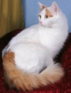 e7a894988b I think the Turkish Van is the most regal of cats!
