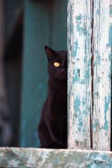 Chat noir. Nothing as beautiful than a black cat.
