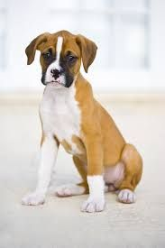 Boxer Chihuahua Mix Puppies For Sale Canada Boxer Dog Names