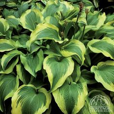 Hosta 'Atlantis' - from Sue E., planted on east end in back of bed