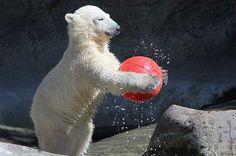 Polar Bear's play at Aalborg Zoo