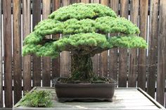 Japane Wiite Pine - located at the US National Arboretum, this Japanese White pine is almost 400 years old. It survived the atomic bomb in Hiroshima and was donated by bonsai master Masaru Yamaki of Hiroshima. It is HUGE. Check out the video to see how big it is.