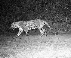 white tiger black panther - Google Search Black Panther, Giraffe, Google Search, Cats, Animals, Felt Giraffe, Gatos, Kitty Cats, Animaux