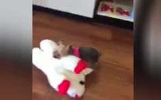 Need a smile? Watch this tiny Yorkie carry her big toy out of a store ~ 3.7.17 Lucy, a tiny Yorkie from Kentucky, has charmed millions of people all over the world with her feat of Herculean determination and a dash of diva attitude.