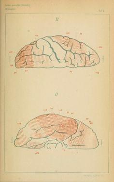 Plate II. Untersuchungen über die Localisation der Functionen in der Grosshirnrinde des Menschen. 1881.