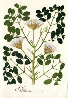 Mimosa. Proyecto de digitalización de los dibujos de la Real Expedición Botánica del Nuevo Reino de Granada (1783-1816), dirigida por José Celestino Mutis: www.rjb.csic.es/icones/mutis. Real Jardín Botánico-CSIC.