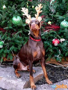 Ho-Ho-Holiday Pets! #Dobie