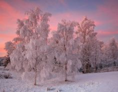 Frosty birchtrees