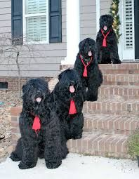 Image result for black russian terrier