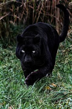 Panther in the woods!!