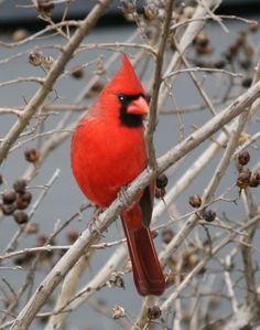 Always happy to see cardinals hanging around!