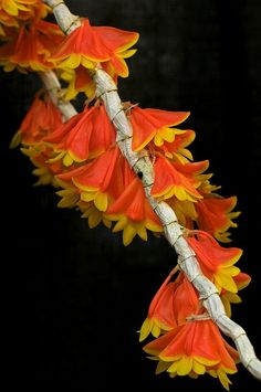 Dendrobium chrysopterum 'Hanging Gardens' Orchid @ its-a-green-life