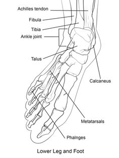 113 best foot anatomy images drawing tips feet drawing sketches Ankle Tendons Posterior human foot bones coloring page human body anatomy foot anatomy human anatomy and physiology