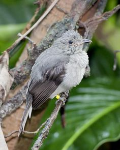 Screaming Piha (Lipaugus vociferans) is found in the middle and lower levels of the South American rainforest. Although typically a solitary bird, the males form large groups during mating season as they attempt to impress females with their calls.