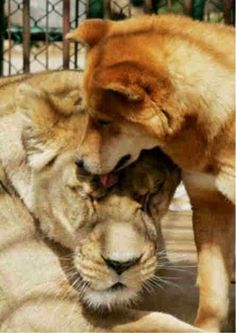 In South Korea, lioness Soonnee and Jindo dog Tanchil have been cohabitating since 2002.  They live in the same cage!!