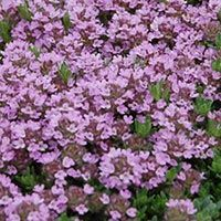 CREEPING THYME Creeping Thyme can be used in countless ways in the garden to provide color. It is low maintenance and can take lots of abuse. Creeping Thyme is one of the very few ground covers that can be walked on. It grows to about 2-4 inches high and can spread two or more feet. They love full sun, partial sun, and even full shade. Avoid transplanting in the Fall, as the cold winter frosts can raise the plants and cause severe freeze damage. USDA Hardiness Zone 5-10