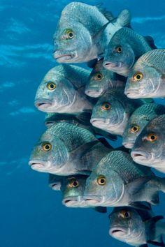 Un banco di Anisotremus surinamensis nuota nella Riserva marina di Hol Chan; creata nel 1987, è la più vecchia area protetta marina del Belize.
