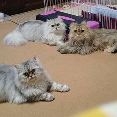 2017.5.29 月曜日 🐾トム&レノン&さくら🐾 🐾Tom & Lennon & Sakura🐾  ココ🐶をサークルから出して遊んでいると、この3にゃんもおもちゃを狙ってくる💡 メイは絶対にこの輪には入らない💦 なので、写真は3ショット💧  #ねこ #猫 #ねこ部 #ねこら部 #ふわもこ部 #ペルシャ猫 #チンチラシルバー #チンチラゴールデン #兄弟猫 #兄妹猫 #愛猫 #cat #cats #persiancat #magnificent_meowdels #meowdel_feature #world_kawaii_cat #petoftoday #furrendsupclose #brothers #みんねこ