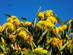 Tamme kastanjes tegen de blauwe hemel #buienradar