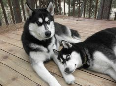 Husky Brotherly Love