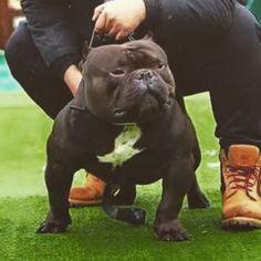 #mihagy #line #exotic #bully #bully #badass #ok #instagood #instadaily #love #photo #puppy #passion #photo #dog #dogsofinstagram #abkc #mma #box #americanbully #americanbully_ []#houseofboxes []#houseofboxes
