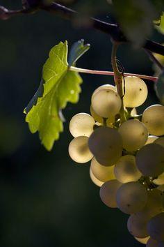 Grapes, Switzerland, September 2013 by Nathalie Knovl, via Behance