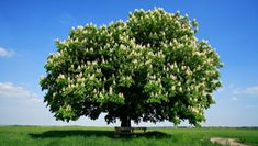 Great news!  The American Chestnut tree is making a comeback!