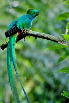 The Resplendent Quetzal (Pharomachrus mocinno) is a bird in the trogon family. It is found from southern Mexico to western Panama (unlik. All Birds, Cute Birds, Pretty Birds, Tropical Birds, Exotic Birds, Colorful Birds, Green Birds, Beautiful Creatures, Animals Beautiful