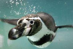 Humboldt Penguin, South America