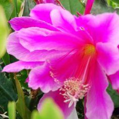 Epiphyllum hybrid Astronaut flowers magenta