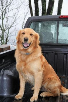 This is McGregor - 8 yrs. He is neutered, current on vaccinations, potty trained, walks well on leash  good with dogs  cats. Tennessee Valley Golden Retriever Rescue, TN. https://www.petfinder.com/petdetail/29358986/